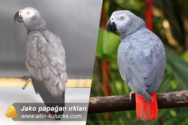 Gri papağan türleri