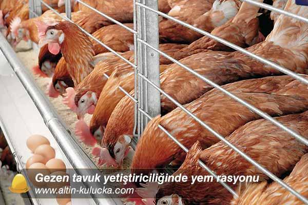 Gezen tavuk yetiştiriciliğinde yem rasyonu