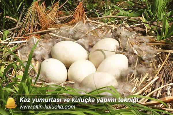 Kaz yumurtası ve kuluçka yapımı tekniği