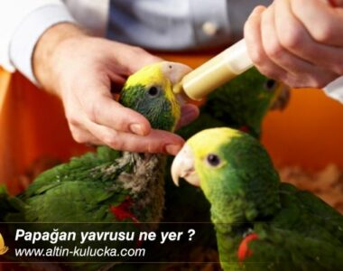 Papağan yavrusu ne yer ?