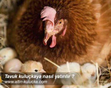 Tavuk kuluçkaya nasıl yatırılır ?