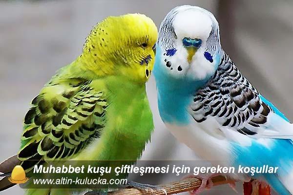 Muhabbet kuşu çiftleşmesi için gereken koşullar