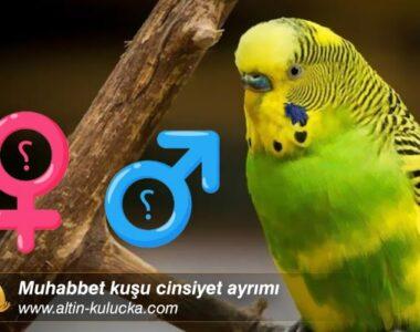 Muhabbet kuşu cinsiyet ayrımı