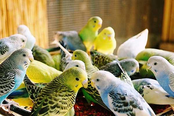 Muhabbet kuşu yetiştiriciliği salonu kurmak için önemli adımlar