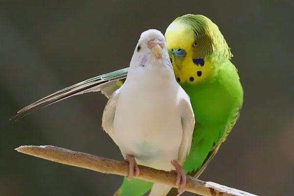 Muhabbet kuşunun çiftleşme zamanı olduğunu nasıl fark edelim