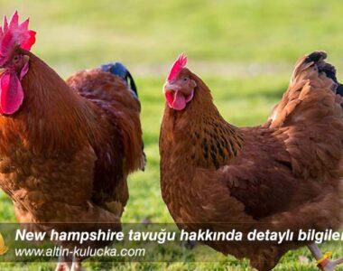 New hampshire tavuğu hakkında detaylı bilgiler