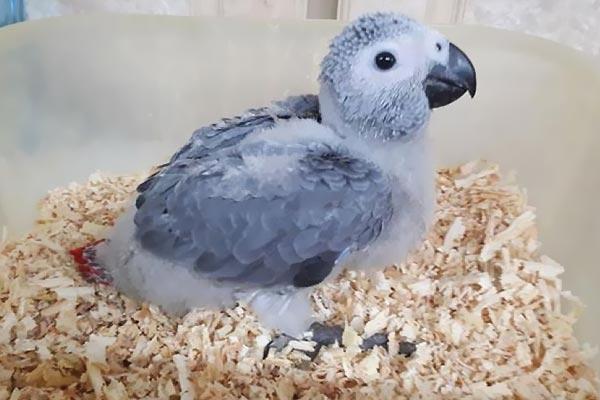 Papağan yavrusu için, ideal bir yuva hazırlama