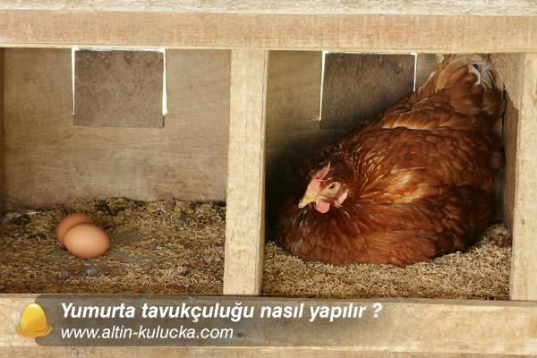 Yumurta tavukçuluğu nasıl yapılır ?