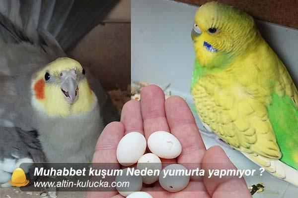 Muhabbet kuşum Neden yumurta yapmıyor ?