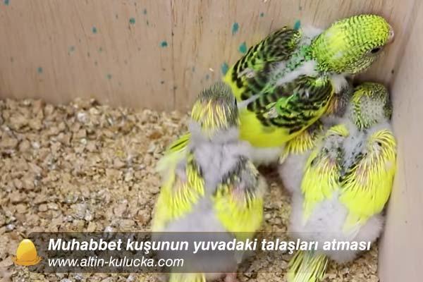 Muhabbet kuşunun yuvadaki talaşları atması