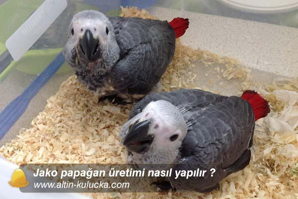 Jako papağan üretimi nasıl yapılır ?