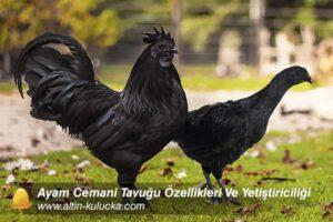 Ayam Cemani Tavuğu Özellikleri Ve Yetiştiriciliği