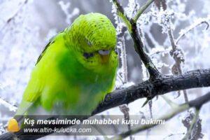 Kış mevsiminde muhabbet kuşu bakımı