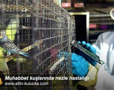 Muhabbet kuşlarında nezle hastalığı