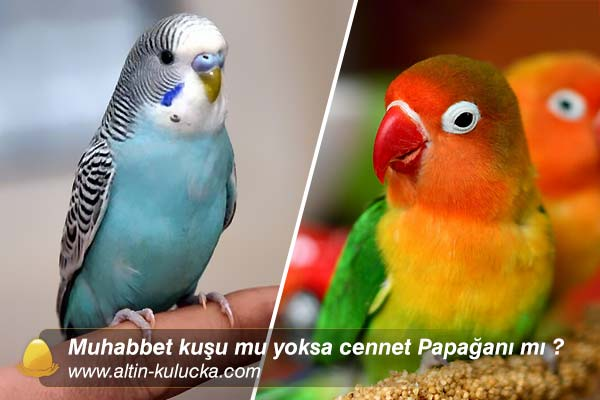 Muhabbet kuşu mu yoksa cennet Papağanı mı ?
