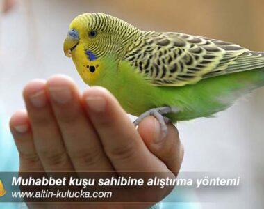 Muhabbet kuşu sahibine alıştırma yöntemi