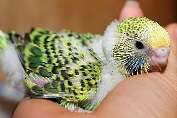 Muhabbet kuşunun güvenini kazanmak