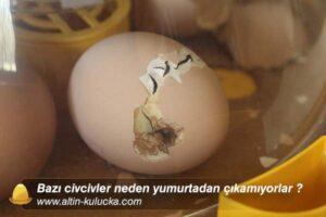 Bazı civcivler neden yumurtadan çıkamıyorlar ?
