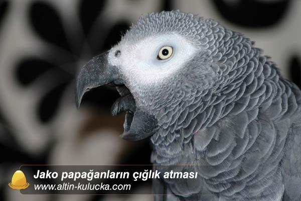 Jako papağanların çığlık atması