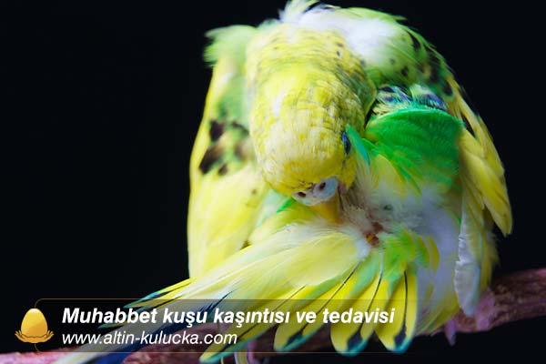 Muhabbet kuşu kaşıntısı ve tedavisi
