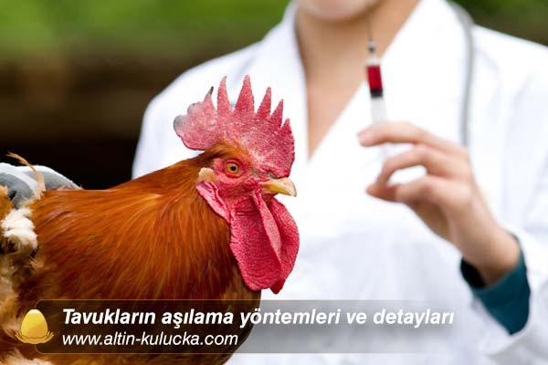 Tavukların aşılama yöntemleri ve detayları