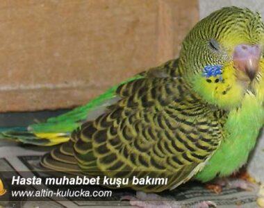 Hasta muhabbet kuşu bakımı