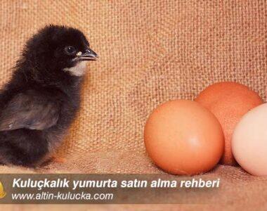 Kuluçkalık yumurta satın alma rehberi