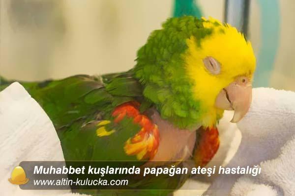 Muhabbet kuşlarında papağan ateşi hastalığı