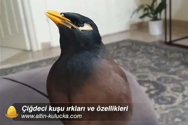 Çiğdeci kuşu ırkları ve özellikleri