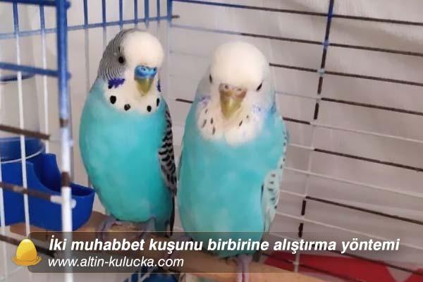 İki muhabbet kuşunu birbirine alıştırma yöntemi