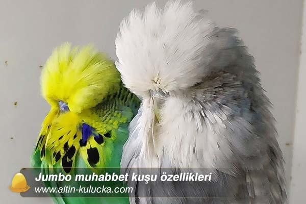 Jumbo muhabbet kuşu özellikleri