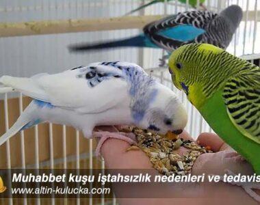 Muhabbet kuşu iştahsızlık nedenleri ve tedavisi