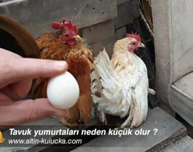 Tavuk yumurtaları neden küçük olur ?