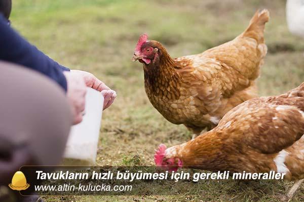 Tavukların hızlı büyümesi için gerekli mineraller